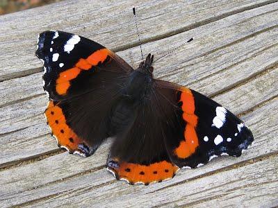 Pihasuunnittelussa voidaan käyttää perennoita ja muita kasveja, jotka houkuttelevat perhosia